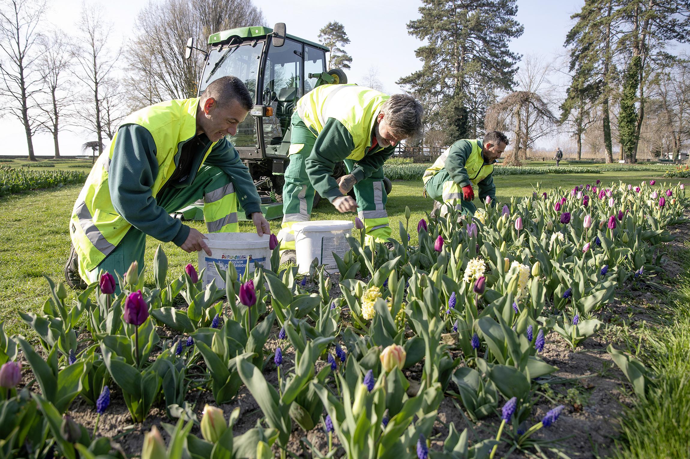 Les tulipes s'ouvriront mais pas le spectacle