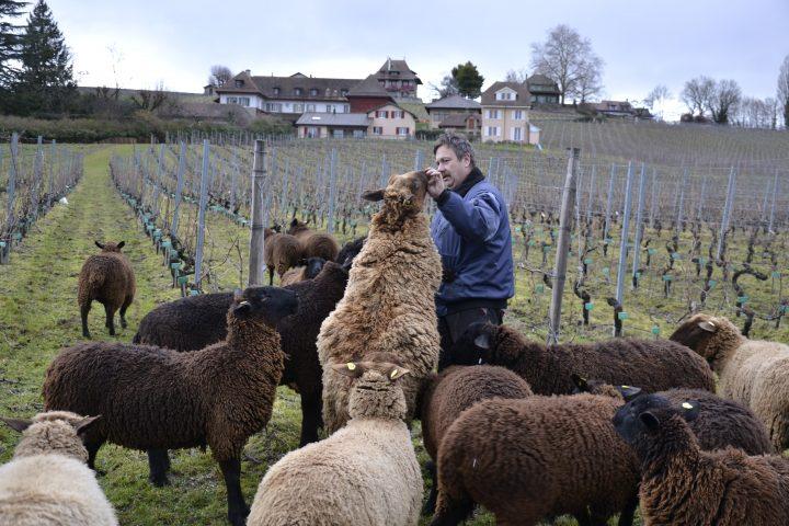 Quand les brebis soignent la vigne