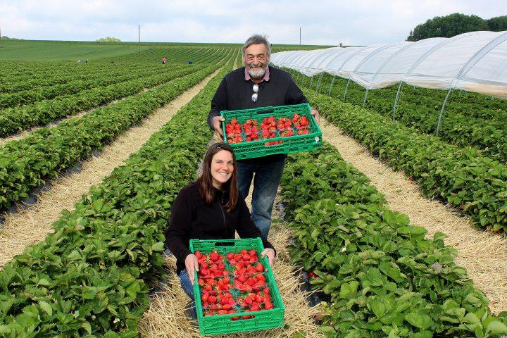 Une année compliquée pour les fraises suisses