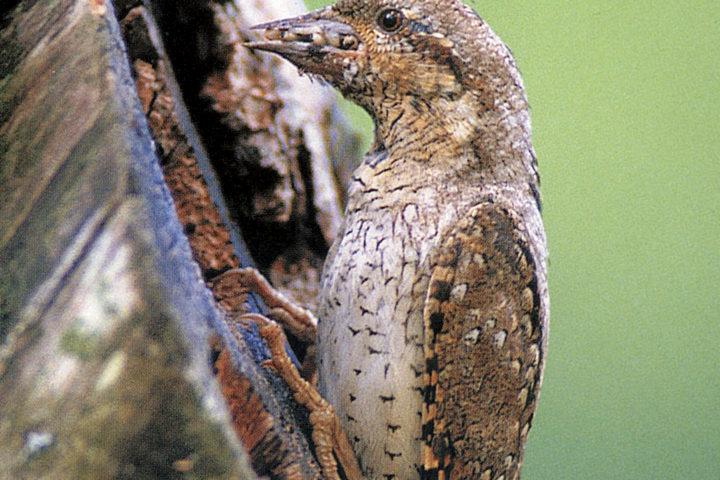 Le torcol fourmilier est rené de ses cendres dans la région