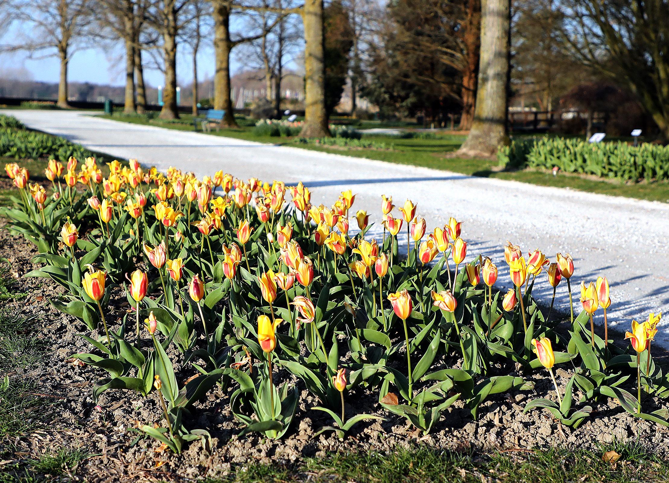 La Fête de la Tulipe confinée