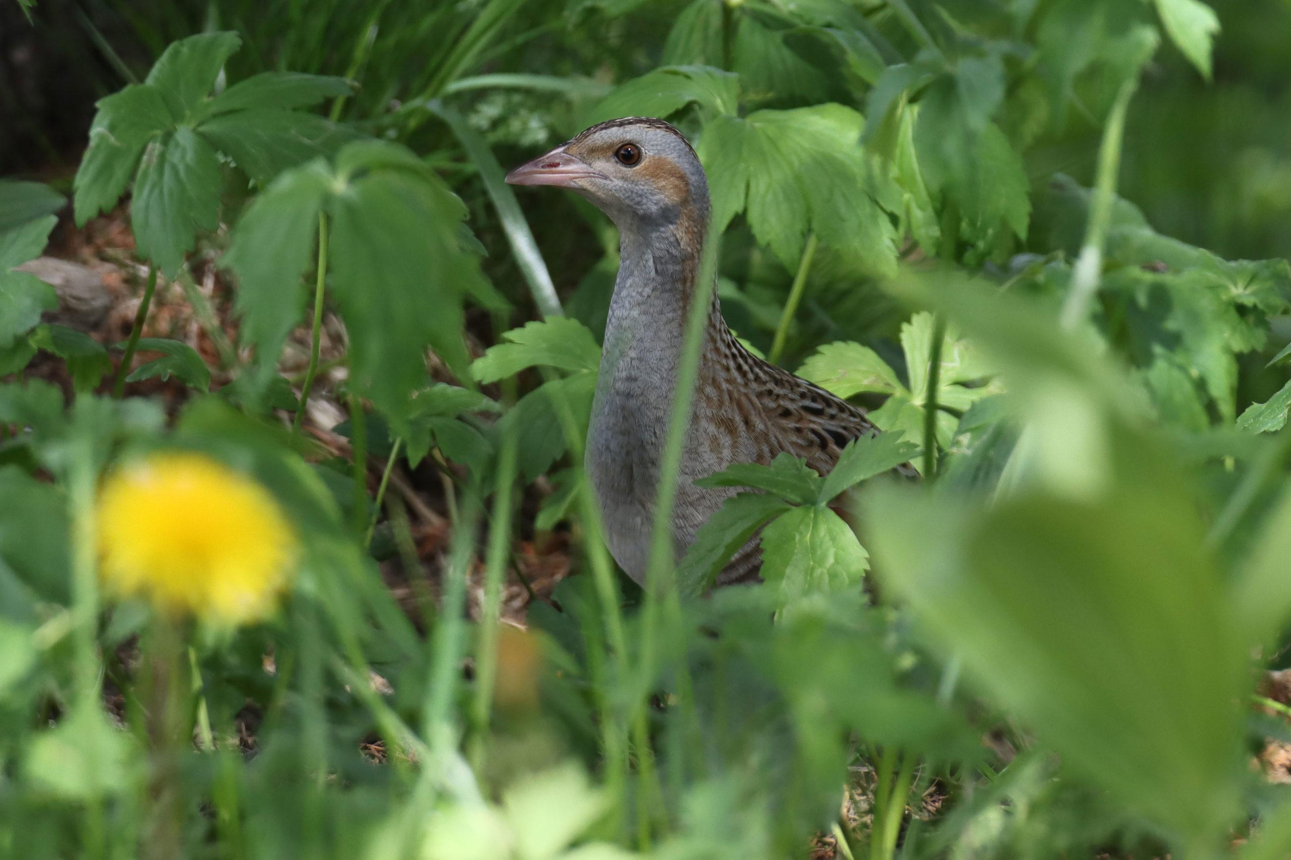 Un oiseau très rare vu dans la région