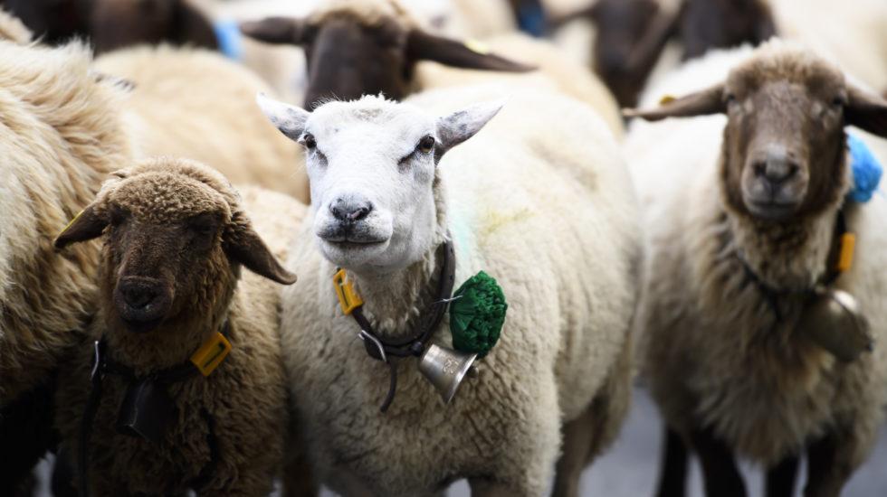 Le voleur de moutons interpellé