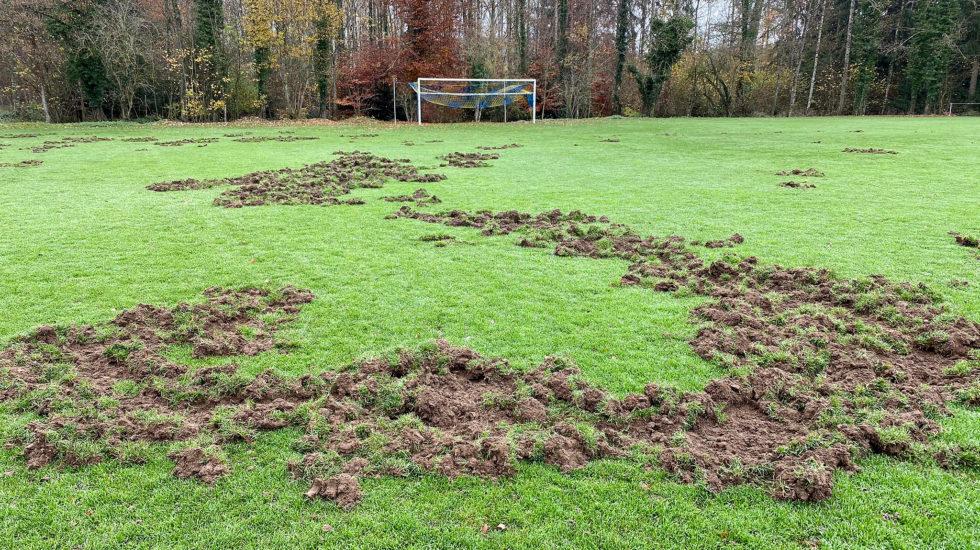 Les sangliers labourent le terrain de foot