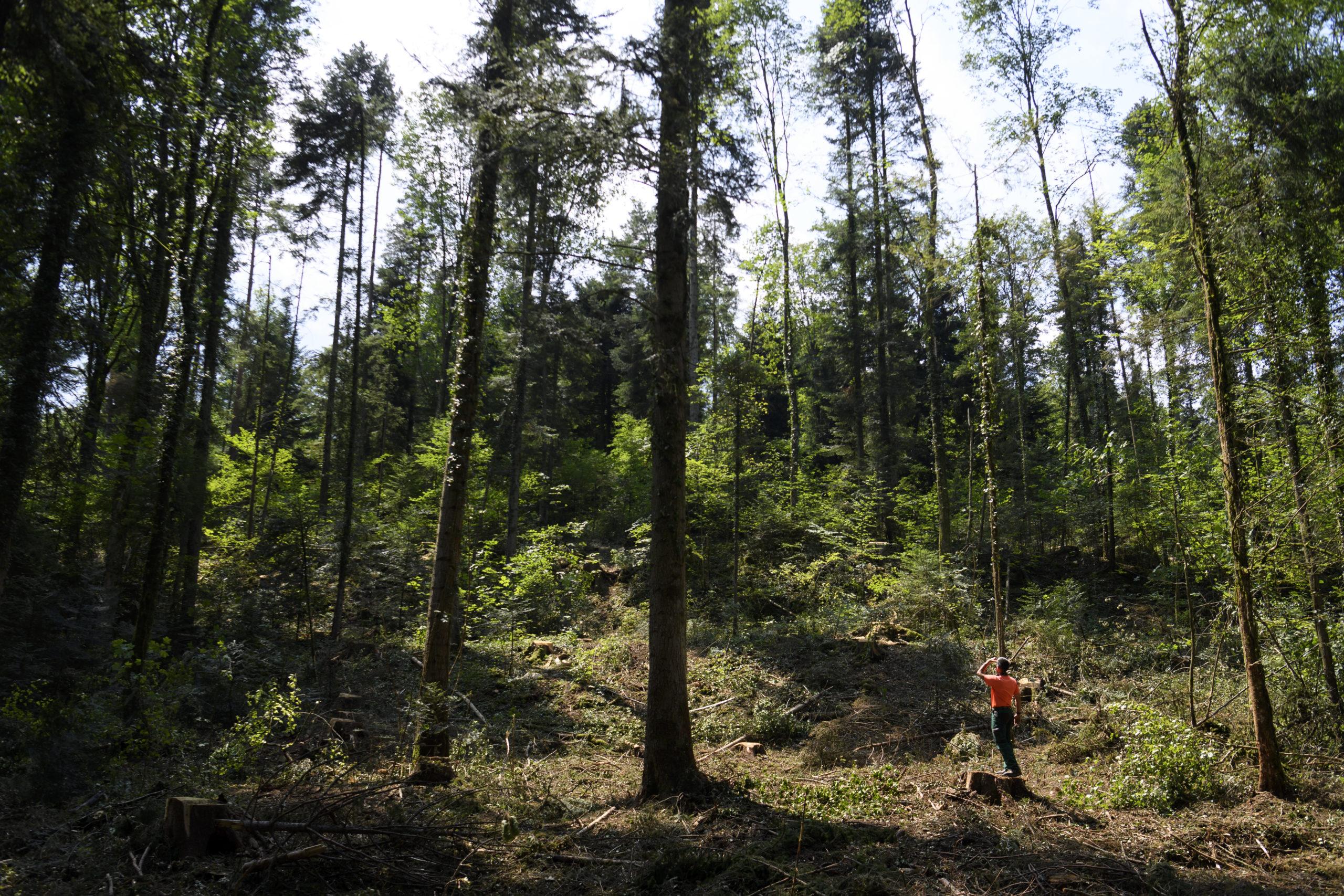 Tolérance climatique des arbres testée dans toute la Suisse