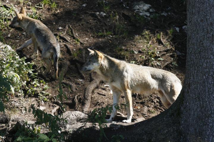Vaud sollicite un tir de loup auprès de la Confédération