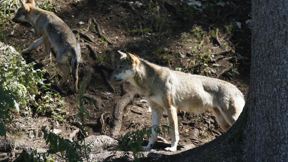 Le loup rôde à Mollens