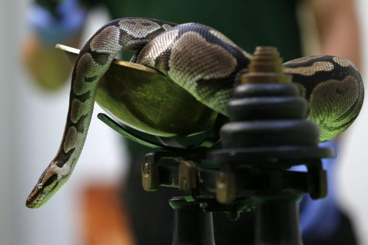 On a retrouvé le python!