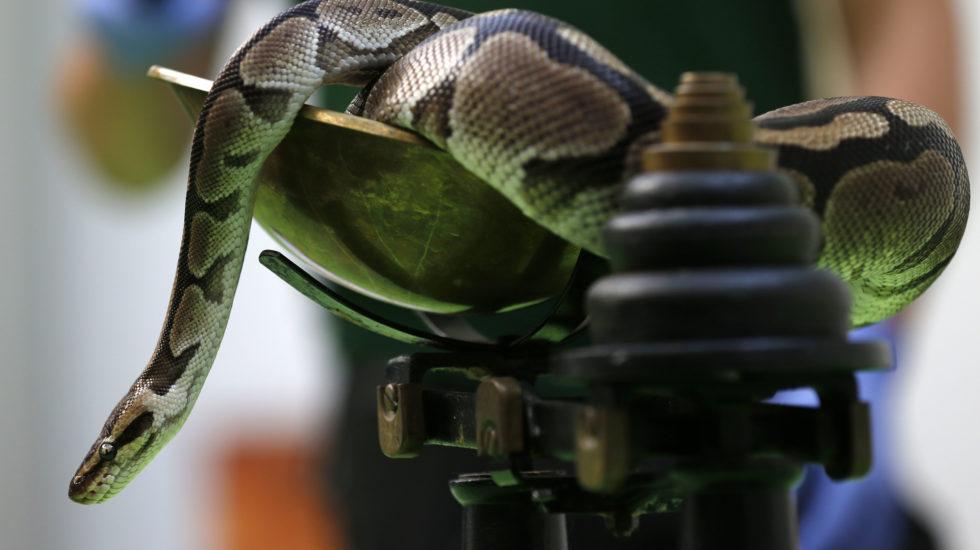 Morges: un python royal dans la nature