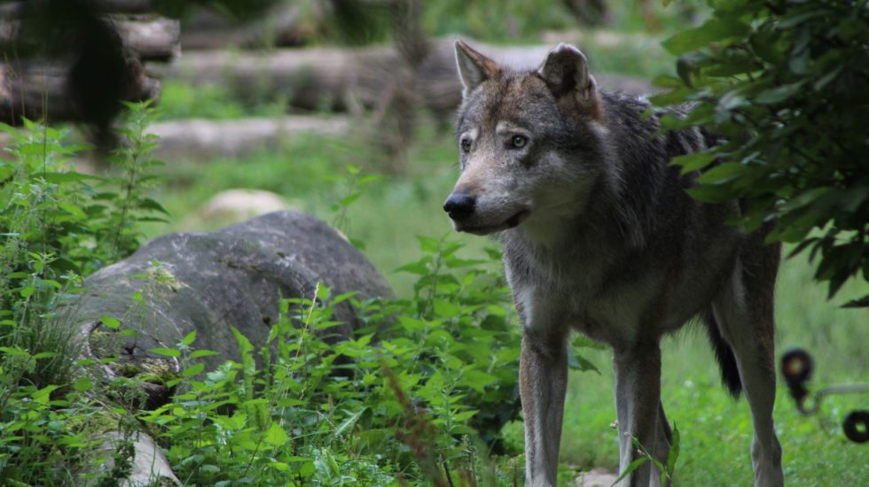 Le Grand Conseil en faveur d'une meilleure régulation du loup