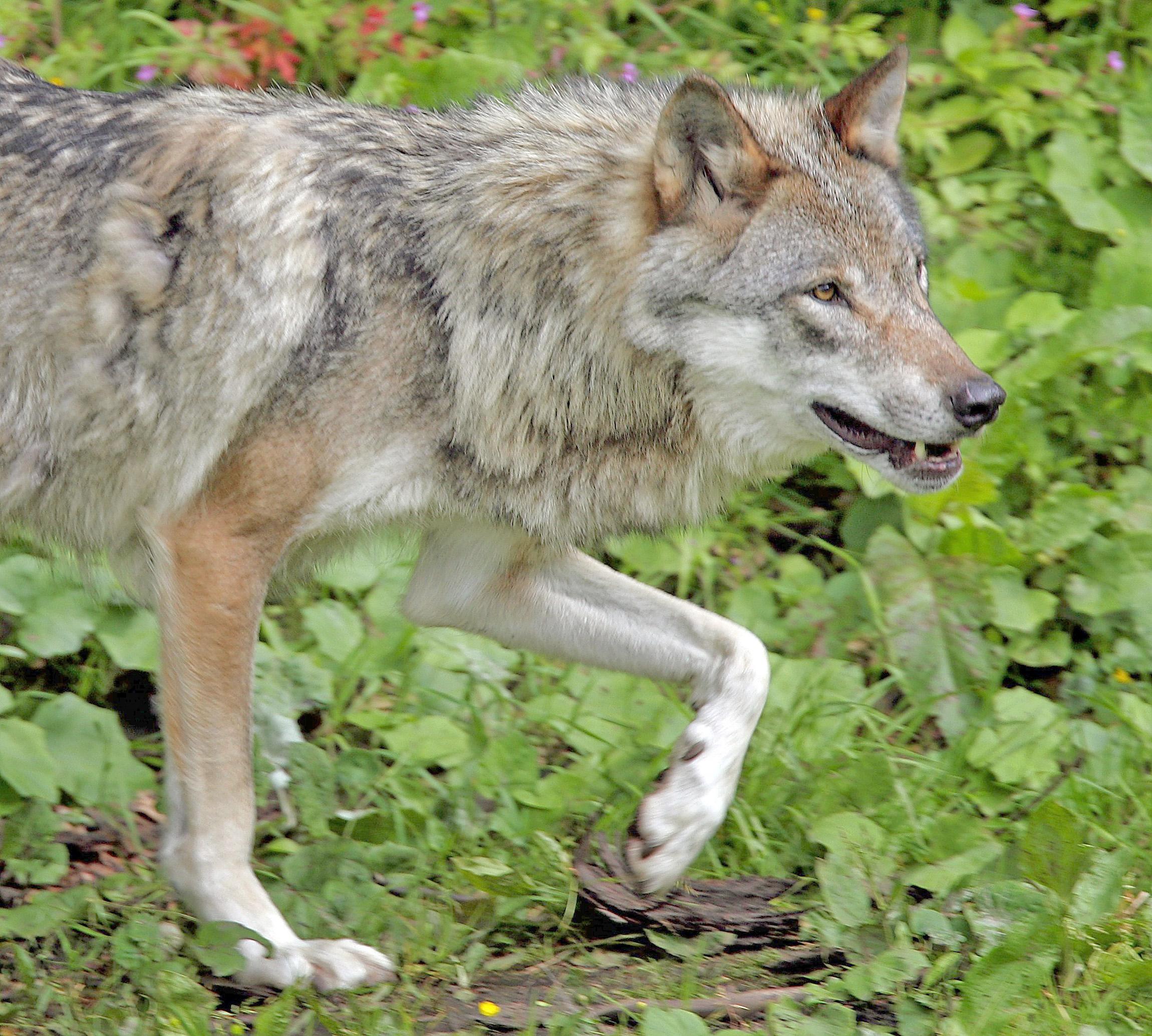 Le loup enflamme les campagnes