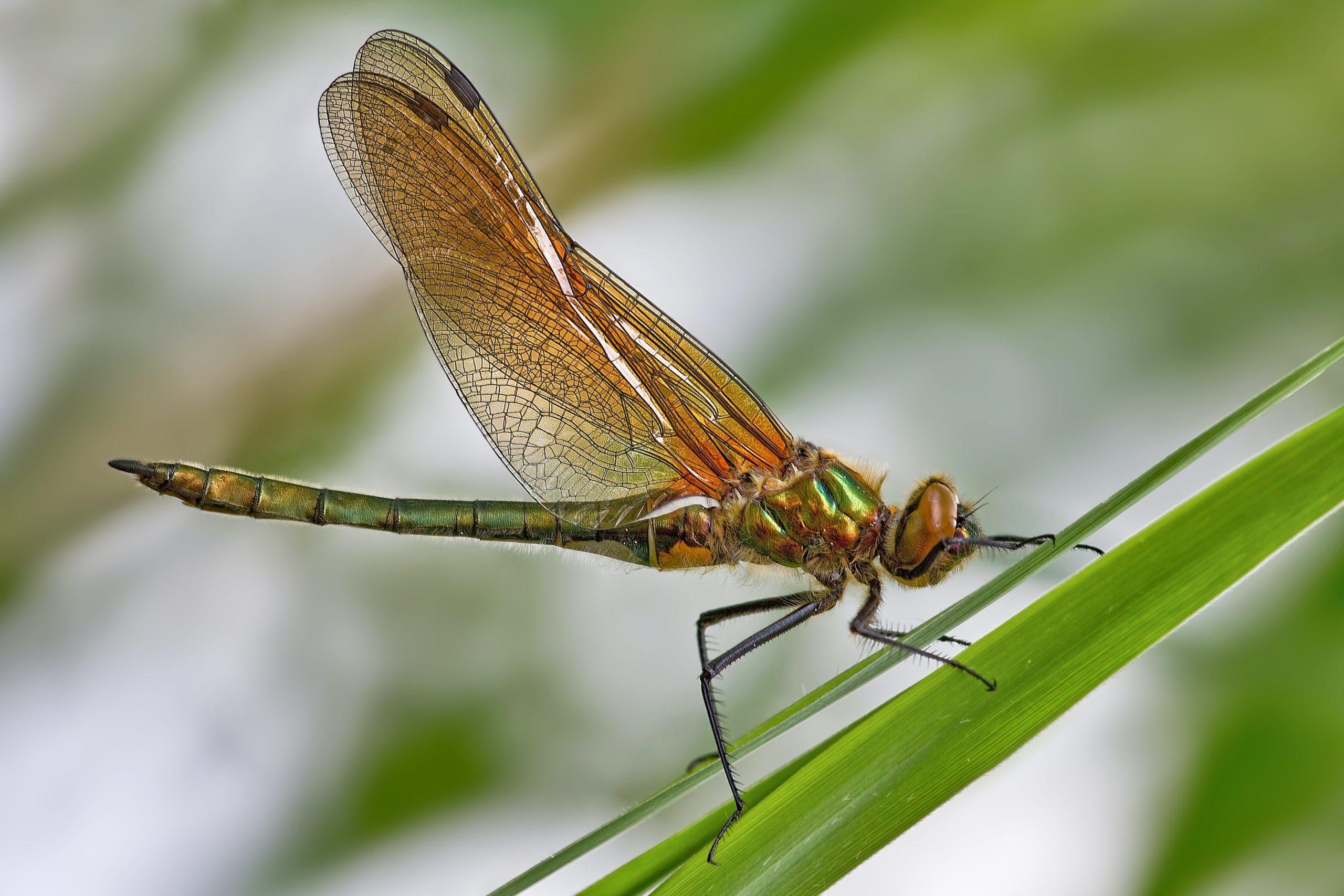 Les insectes suisses sont menacés