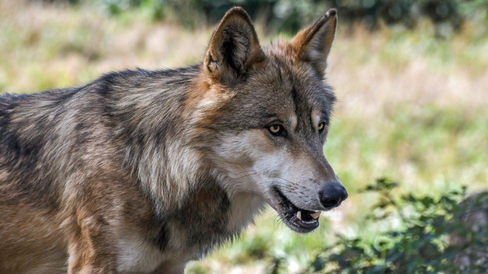 Une nouvelle meute de loups sur le territoire